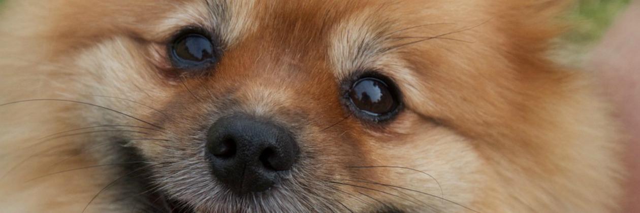 Soda Pups Dog Show